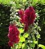 Seedlings India Hollyhocks Powderfull Double Mixed Hybrid Seeds