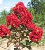 Seedlings India Lagerstroemia 25 Seeds