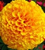 Seedlings India Marigold Flower Seeds