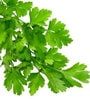 Seedlings India Parsley Herb Seeds