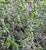 Seedlings India Succulents Delosperma Pruinosum