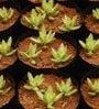 Seedlings India Succulents Sedum Adolphii