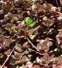 Seedlings India Succulents Sedum Spurium Voodoo, Sedum Spurium Dragon'S Blood...