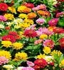 Seedlings India Zinnia Dahlia Eldorado Hybrid Seeds