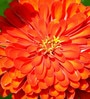 Seedlings India Zinnia Scarlet Flame Hybrid Seeds