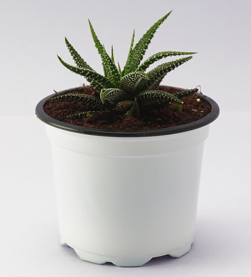 Zebra Haworthia Natural Foliage Plant by Ugaoo